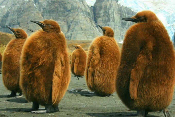 Sekumpulan Raja Pinguin di Georgeia Selatan.