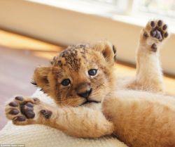 Ekspresi Lucu Anak Singa dan Harimau yang Super Gemesin, Jadi Pengen Bawa Pulang Nih