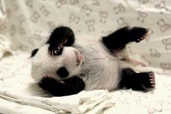 9 Foto Menggemaskan Bayi Panda yang Bikin Kamu Jadi Pengen Nyubit
