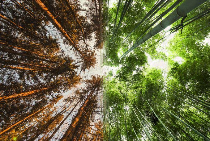 Ada pula perbandingan dua hutan di negara berbeda. Satunya adalah hutan di Norwegia dan sisi kanannya adalah sebuah hutan bambu di Jepang.