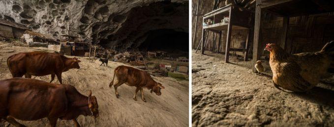Penduduk desa ini juga memelihara hewan ternak lho. Seperti ayam dan sapi contohnya.
