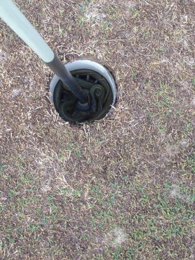Saat kamu main golf dan melihat kedalam lubang bolanya, ternyata disana adalah sarang ular. Ngeri banget kan.