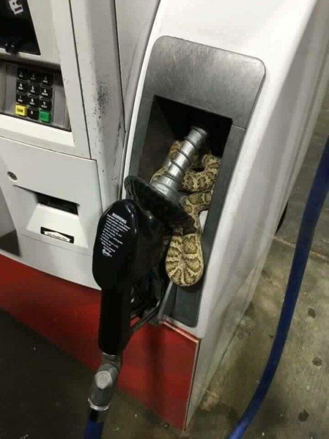 Sepertinya ular ini suka dengan bau bensin. Iyaa..sama kaya kamu..hehehe