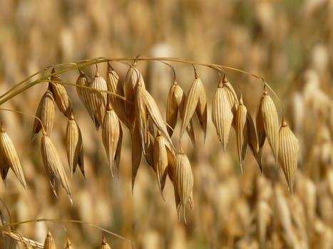 Sementara itu, gandum kayak akan glukosa yang menjadi suplai untuk otak agar lebih stabil. Gandum juga diperkaya vitamin B yang berguna memlihara kesehatan sistem saraf kita.