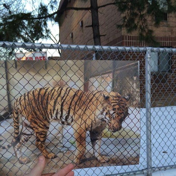 Watchout Pulsker! Ada harimau lepas di tengah kota tuh Pulsker.