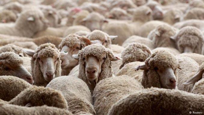 Diperkirakan, jumlah hewan kurban juga meningkat ketimbang tahun-tahun sebelumnya yang menembus angka 2,5 juta ekor. Jika beberapa dekade lalu sisa daging kurban yang tak dikonsumsi dimusnahkan, kini pemerintah Arab Saudi mendonasikan ke negara lain yang membutuhkan. Suriah adalah penerima donasi terbesar tahun ini Pulsker.
