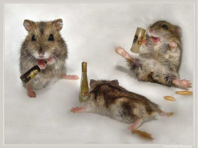 Waduh, nampaknya mereka lagi mabok banget Pulsker. Sampai ada yang menggelepar segala karena kebanyakan minum. Lucu-lucu kan Pulsker foto tikusnya?. Jadi pengen melihara deh dirumah.