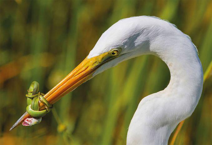 Fotografer Amerika Serikat, Jose Garcia mengabadikan momen ketika seekor ular kecil yang berusaha meililit paruh burung.