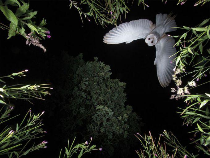 Roy Rimmer, fotografer asal Inggris dengan apik memotret seekor burung hantu yang terbang di malam hari nampak sempurna.