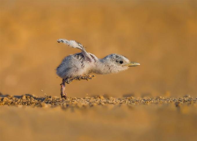Semntara itu, ekspresi lucu anak burung yang sedang berjalan ini dijepret oleh fotografer Kuwait, Faisal Alnomas.