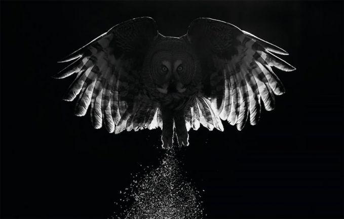 Markus Varesvuo juga memotret seekor burung hantu yang terbang dengan tatapan mata tajam.