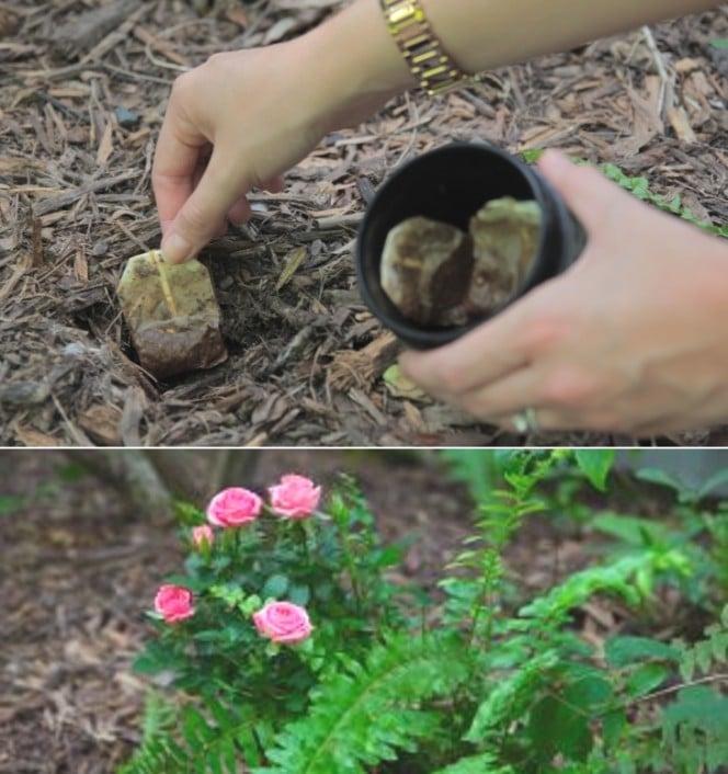 Kantong teh juga bisa dijadikan pupuk untuk tanaman dirumah kita seperti pakis dan sejenisnya. Caranya, robek kantung teh yang sudah dipakai atau belum dan benamkan disekitar tanaman. Cara ini bisa memberi nutrisi pada tanaman Pulsker.