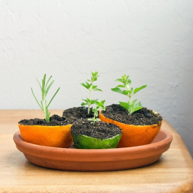 Untuk menanam kecambah Tanpa disangka, lemon juga bisa menumbuhkan kecambah. Peras jeruknya dan masukkan bijinya ke dalam separuh lemon dan tanam di dalamnya.