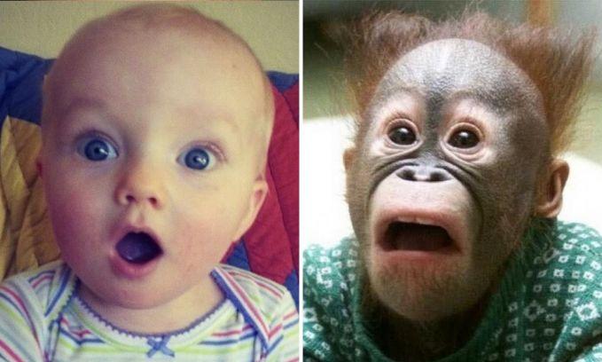 Ekspresi terkejut yang mereka tunjukkan benar-benar mirip Pulsker. Bedanya si bayi nggak punya rambut layaknya bayi orangutannya.