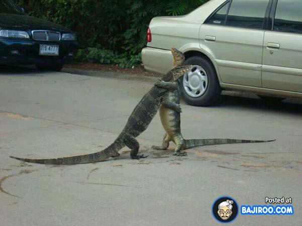 Wah, ternyata ini yang bikin macet panjang?. Ada dua ekor biawak rebutan pacar kelahi ditengah jalan raya.