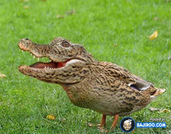 Kayak gini jadinya makhluk hybrid hasil perkawinan silang antara buaya dan bebek.