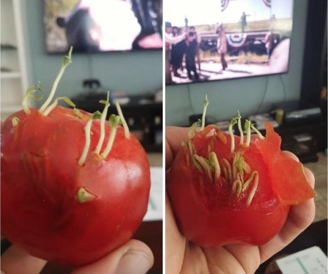 Didalam tomat ada tunas yang tumbuh. Kok bisa ya?