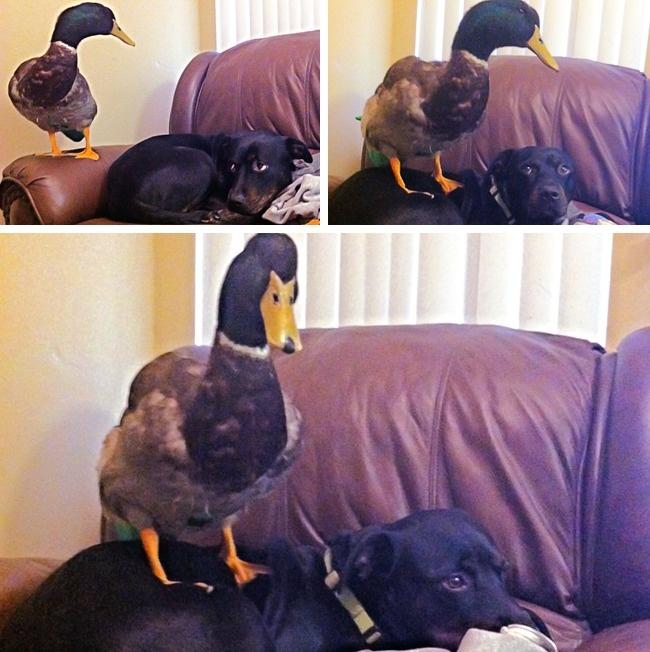 Awalnya sih, si bebek ragu-ragu Pulsker buat naik di punggung anjingnya. Apa boleh buat, takut si bebek marah anjingnya malah diam aja tuh.