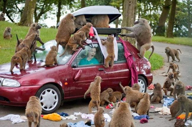 Waduh, ada apa nih sama kawanan kera ini Pulsker?. Sampai ngobrak-abrik menyerbu mobil yang lewat. Aksi pembegalan nih !.