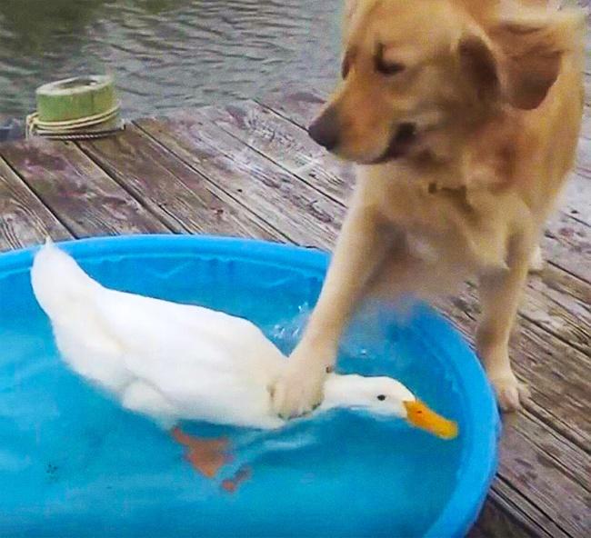 Kayaknya si anjing punya dendam kesumat deh sama si bebeknya. Liat tuh, bebeknya sampai nggak boleh keluar dari air.