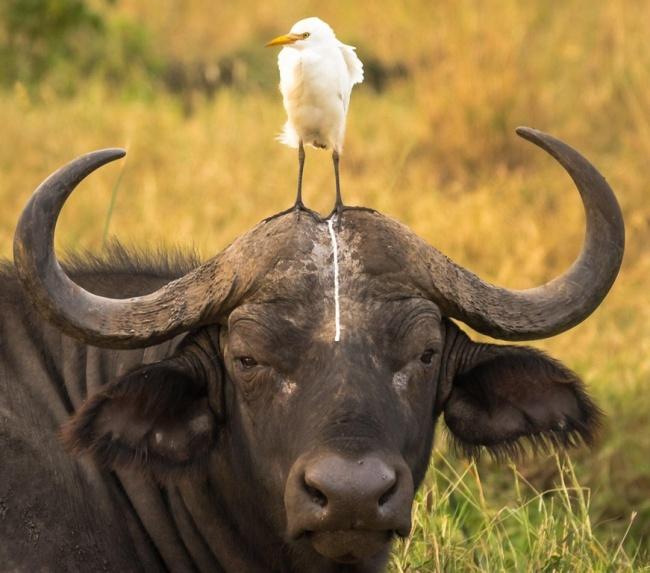 Sebenernya nih kerbau geregetan banget Pulsker karena ulah si burungnya. Hmm, tunggu pembalasannya.