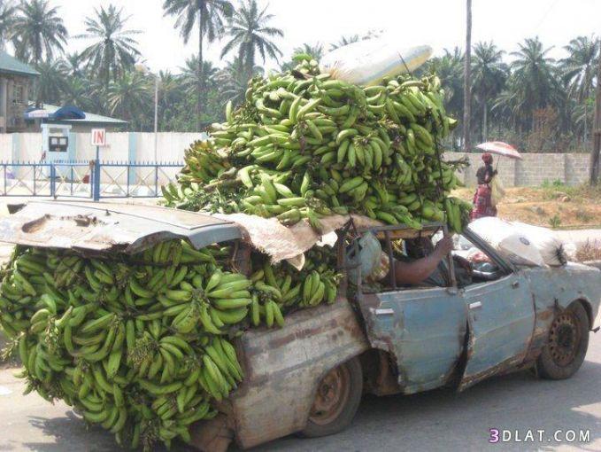 Tua-tua keladi nih mobil gaes. Makin tua makin jadi, walaupun udah nggak layak masih bisa tuh buat muat pisang segitu banyak. Yang ngeliat kasian deh.