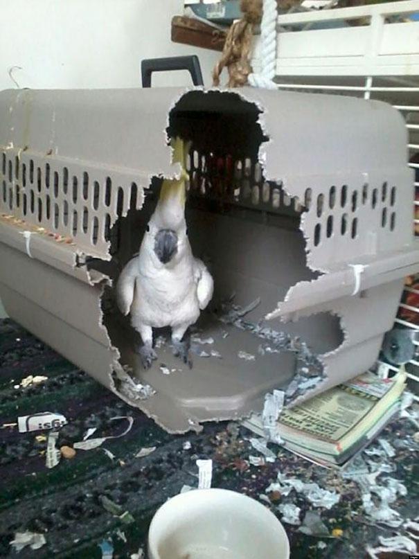 Burung ini dikurungin, malah kurungannya yang dirusak. masih brani ngurung aku?