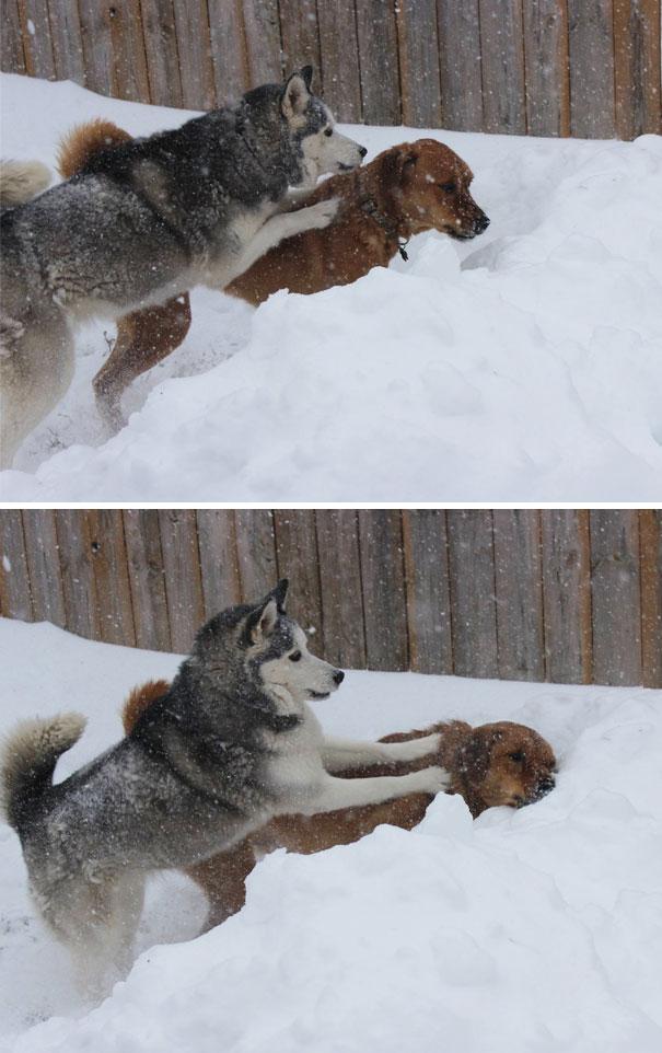 Dua anjing ini terlihat sedang berantem di salju yang dingin.