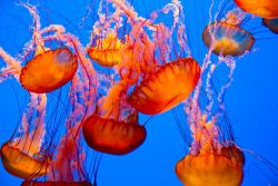10 Fakta Menarik Ubur-Ubur, Hewan Laut yang Sering Dipandang Sebelah Mata
