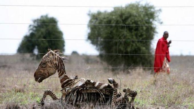 Bangkai seekor zebra yang dibiarkan begitu saja. Kekeringan di sebagian wilayah Afrika membawa dampak buruk tak hanya bagi manusia saja Pulsker, tapi hewan juga.