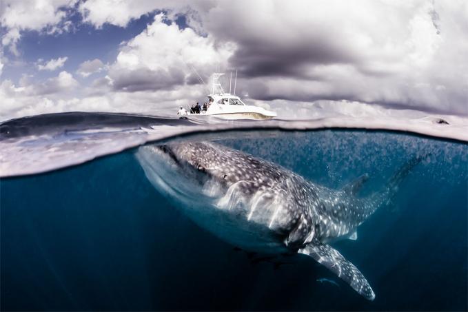 Hmm, kesenggol dikit aja sama si hiu perahunya bisa kebalik tuh. Menakjubkan banget ya gengs fotonya, tapi sekaligus ngeri ngeliatnya. Dan satu hal yang pasti, foto ini tanpa menggunakan rekayasa photoshop lho.