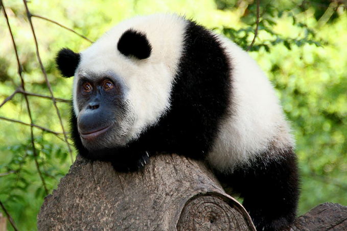Mungkin begini ya gaes hasil kawin silang antara orang utan dengan panda.