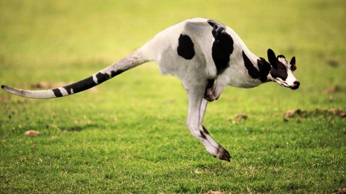 Sapi yang berbadan kanguru, atau kanguru berkepala sapi nih?. Ah, semuanya sama saja gaes. Sama-sama nggak ada di alam nyata dan hanya ada di alam khayalan manusia. Coba kalau ada beneran, nggak kebayang deh gimana jadinya. (Sumber : Trivia.id)