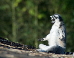 Aksi Lucu Lemur Saat Melakukan Yoga di Alam Liar, Jadi Gemes Ngeliatnya