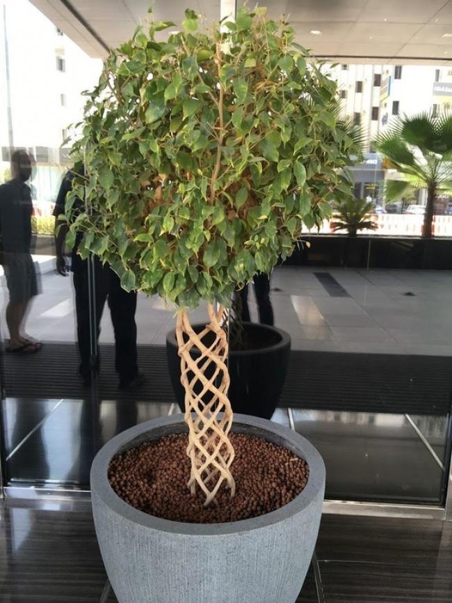 Bak anyaman, batang pohon di pot ini tumbuh unik dan beda dari yang lain gengs.