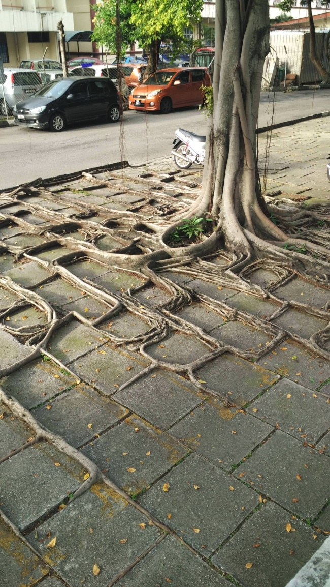 Akar pohonnya mengikuti kontur tanah disekitarnya dan membentuk pola yang unik.