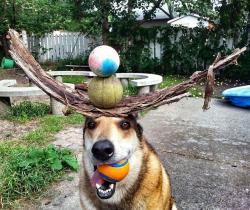 Gokil, Anjing Lucu Ini Dapat Menahan Benda Diatas Kepala Tanpa Jatuh Lho
