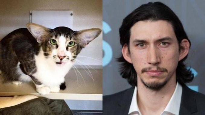 Dilihat telinganya sih, kucing ini justru mirip dengan Adam Driver. Itu lho, pemeran Kylo Ren di 'Star Wars'.