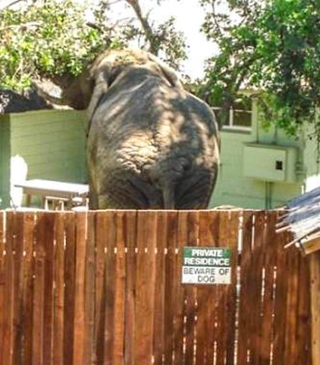 Si gajah rupanya penasaran tuh Pulsker, dia lagi nyari si anjing galaknya ada dimana.