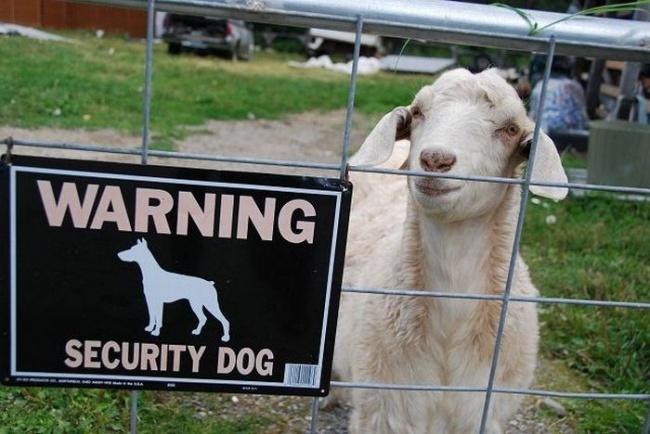 Waduh, si kambing salah tempat nampaknya. Itu dia Pulsker beberapa tulian peringatan 'anjing galak' yang gagal menakut-nakuti orang lewat. Bukan malah takut justru bikin ketawa sendiri ya.