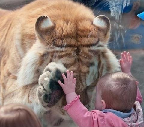 jangan sedih ya macan.