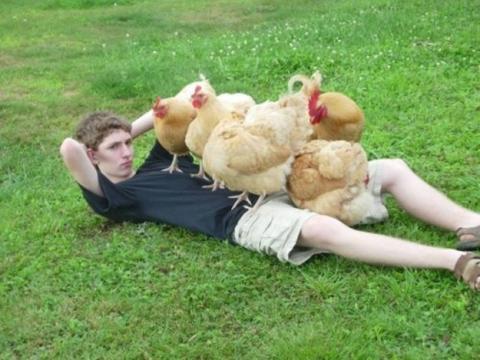 Ayam betina yang memperebutkan si jantan.