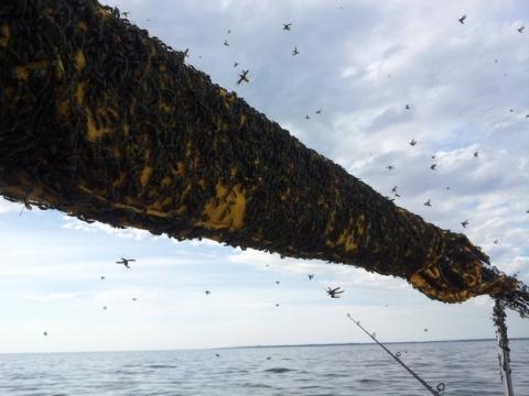 Ini adalah sekumpulan kumbang Plague Soldier. Serangga ini ditemukan dalam kerumunan yang bisa terdiri dari ratusan sampai ribuan kumbang. Untung saja, mereka tak berbahaya untuk manusia. Tapi merinding juga ya liatnya.