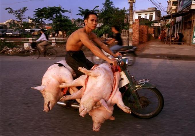 Akrab banget sama babi, sampai diboncengin gitu.