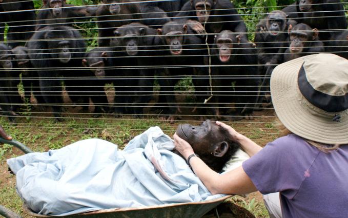 Keluarga besar simpanse di Sanaga-Yong Chimpanzee Rescue Centre, Kamerun nampak sedang memberikan penghormatan terakhir kepada kerabat mereka bernama Dorothy. Ekspresi wajah mereka menunjukkan rasa sedih yang amat mendalam.