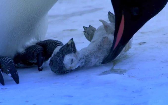 Dalam dunia burung juga berlaku hal serupa gengs. Di foto terlihat seekor induk pinguin begitu sedih melihat anaknya mati.