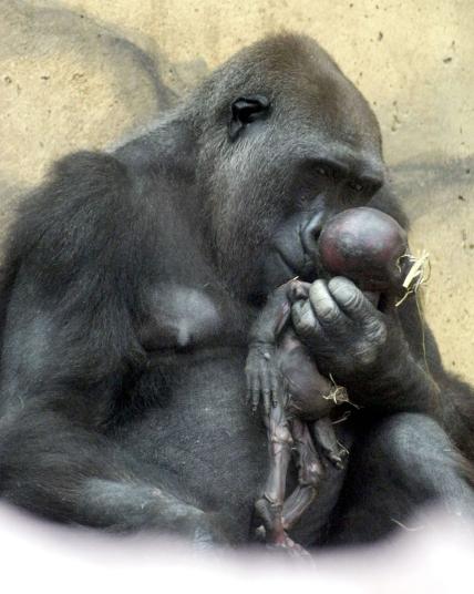 Kesedihan tak terbendung diperlihatkan oleh Gana, seekor gorila di kebun bianatang Munster, Jerman. Sembari menggendong anaknya Sergio yang baru saja mati, dia merasa kehilangan banget.