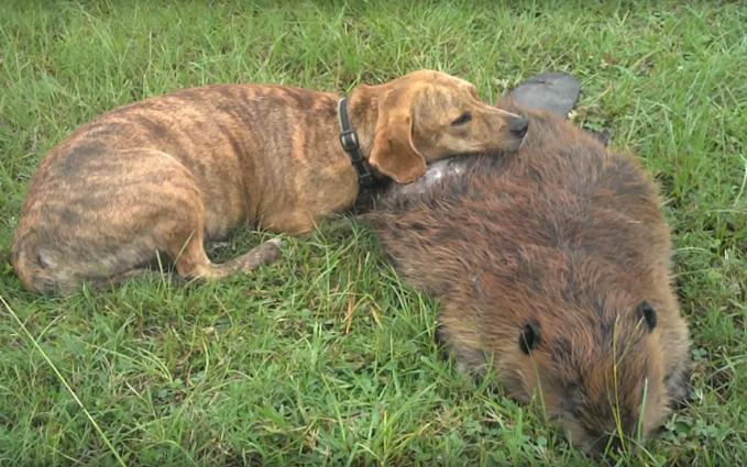 Mungkin persahabatan anjing dan berang-berang terlihat aneh. Tapi inilah yang terjadi di kebun binatang Bloomingdale, Georgia, AS. Pada 2012 lalu, sang berang-berang mati. Dan si anjing sahabatnya tak henti-hentinya mendampinginya selama berjam-jam lho.