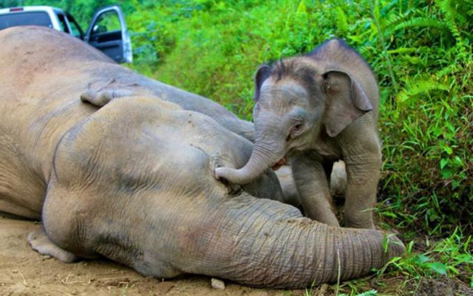 Wajah sedih juga terpancar dari anak gajah di Gunung Rara, Sabah, Malaysia ini. Diduga sang induk mati karena diracun oleh orang tak bertanggung jawab.