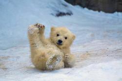 Potret Menggemaskan Kehidupan Anak Beruang Kutub di Alam Liar